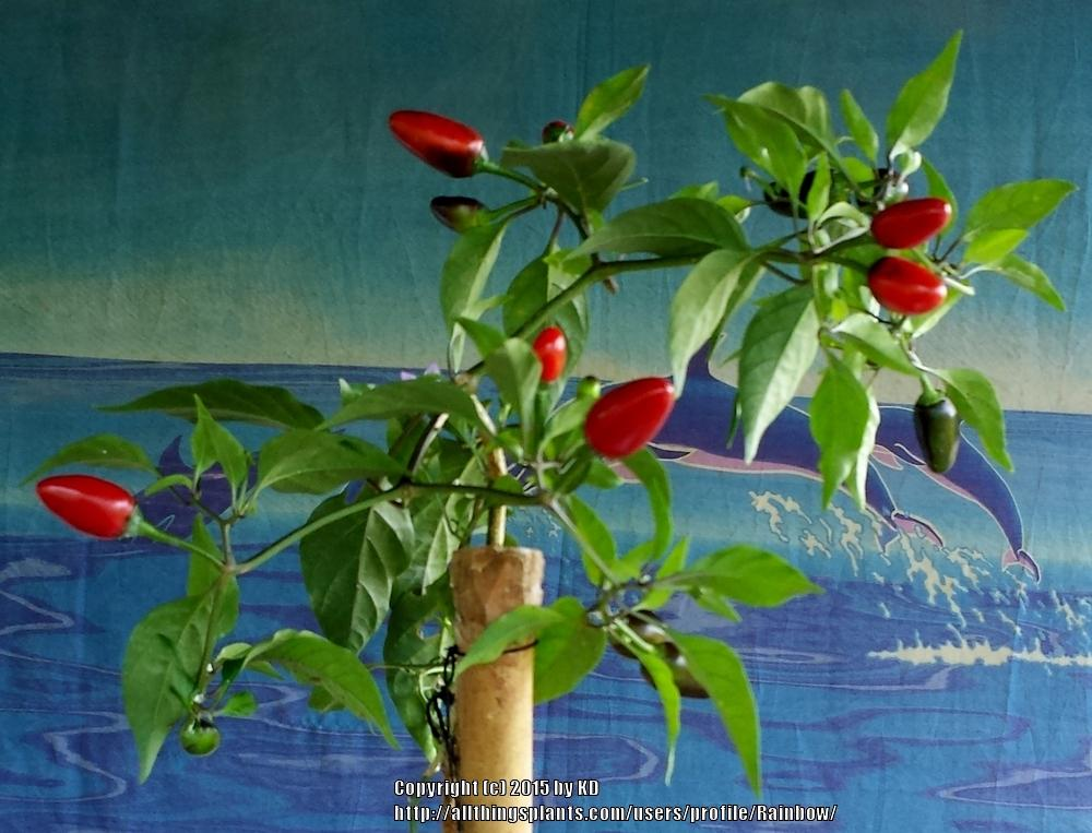 Photo of Hot Pepper (Capsicum baccatum 'Mayo Chiltepine') uploaded by Rainbow