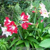 Location: Laguna de Aculeo, ChileDate: Nov. 9, 2015Look what's blooming in my garden today!