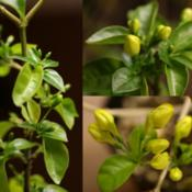 Location: Woodbridge , VaDate: 2015-11-09yellow ruttya plant buds