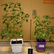 Location: Woodbridge , VaDate: 2015-11-042, 5 month old orange ruttya plants grown from cuttings