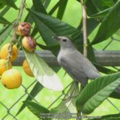 Location: Daytona Beach, FloridaDate: 2010-04-25Gray Catbird enjoying the fruit.