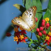 Location: Daytona Beach, FloridaDate: 2015-11-11#Pollination  White Peacock Butterfly (Anartia jatrophae) visitin