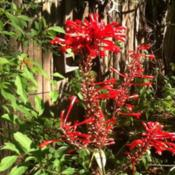 Location: Old Town, FlDate: 2015-11-12I'm loving these bright red blooms in my FL 8b garden where it is