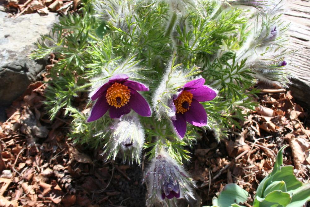 Photo of Pasque Flower (Pulsatilla vulgaris) uploaded by 4susiesjoy