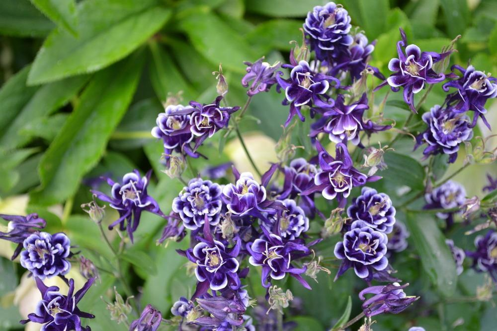 Photo of Columbines (Aquilegia) uploaded by HollyAnnS