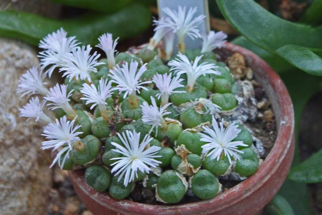 Photo of Conophytum ficiforme uploaded by RuuddeBlock