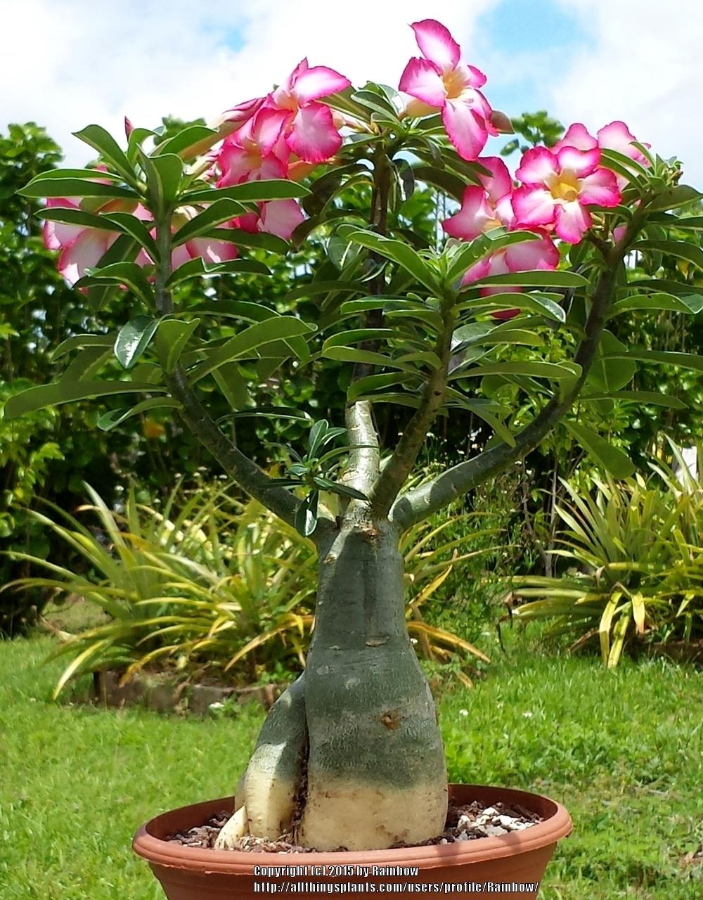 Garden Bush: Adeniums Forum: Adenium Bonsai Training