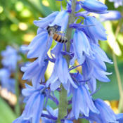 Attracts #Bees & Other #Insects #Pollination