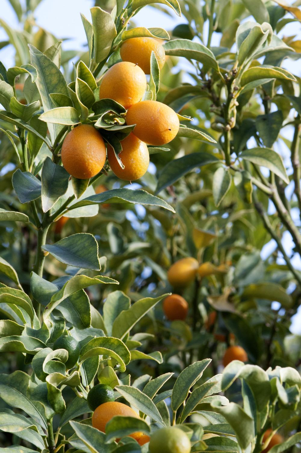 Photo of Sweet Kumquat (Citrus japonica) uploaded by cliftoncat