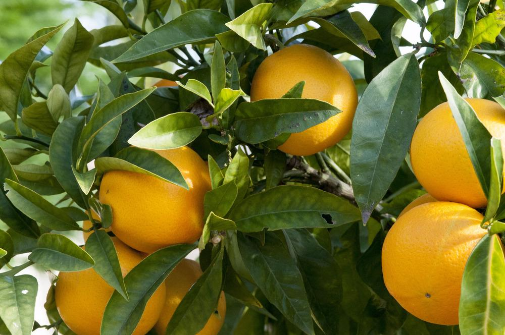 Citrus fruits plant care and collection of varieties Planting lemon seeds for smell