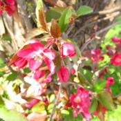 Location: central IllinoisDate: 2015-04-17Crabapple