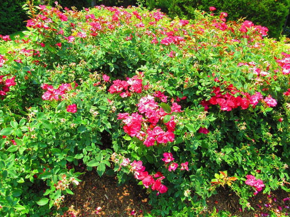 Photo of Roses (Rosa) uploaded by jmorth