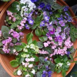 Growing African Violets