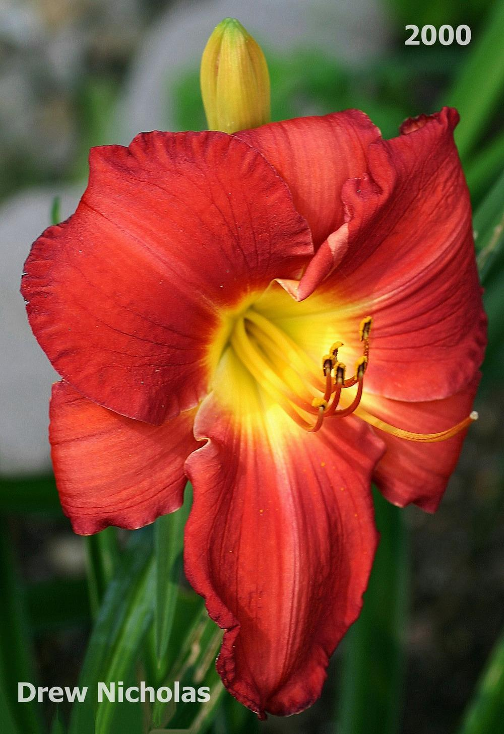Photo of Daylily (Hemerocallis 'Drew Nicholas') uploaded by mainer35