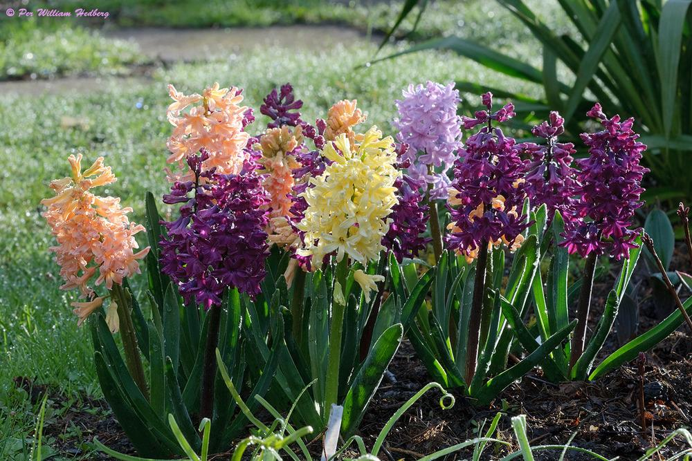 hyacinths plant care and collection of varieties garden org