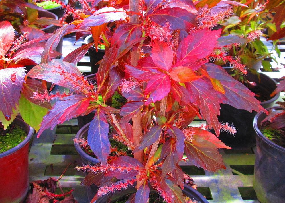 Photo Of The Bloom Of Copper Leaf Acalypha Wilkesiana Posted By