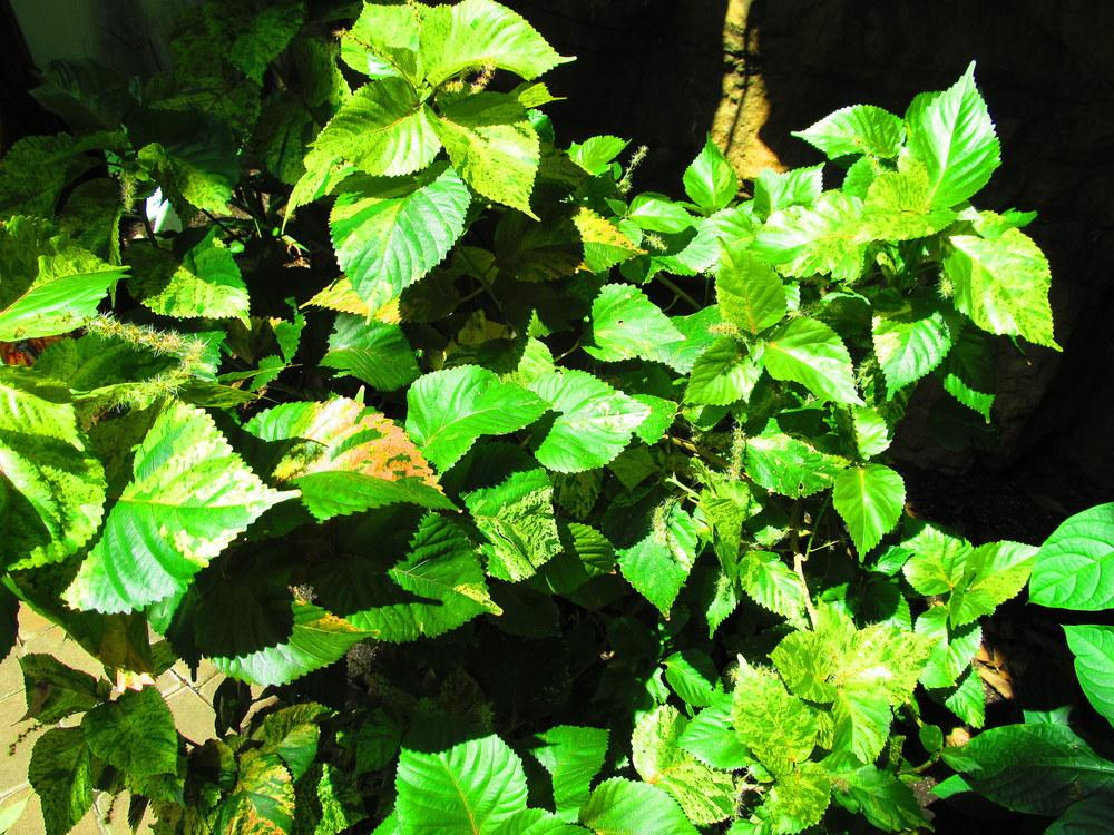 Photo Of The Leaves Of Copper Leaf Acalypha Wilkesiana Posted By