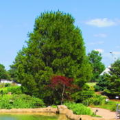 Location: Quad Cities Botanical Garden, Rock Island, Il.Date: 7-3-11in the middle - Japanese Maple