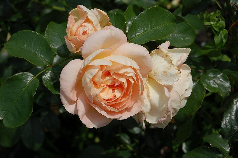 Photo of Rose (Rosa 'Marie Antoinette') uploaded by robertduval14
