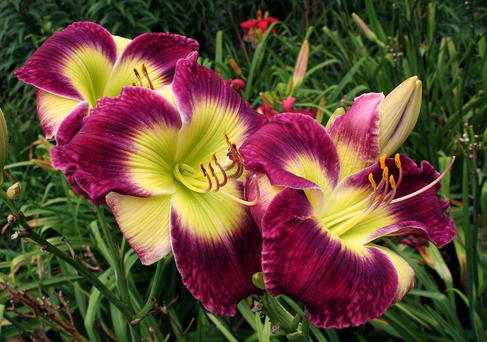 how to start a daylily farm