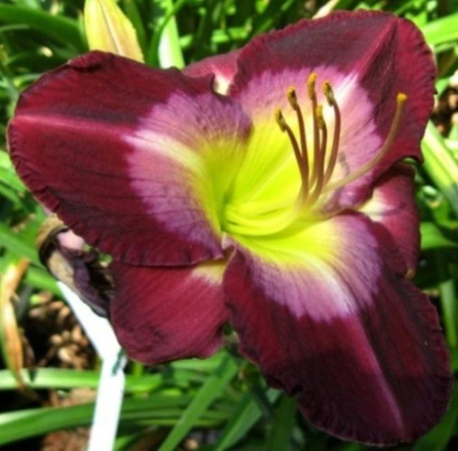 Photo of Daylily (Hemerocallis 'Another Night') uploaded by Sscape