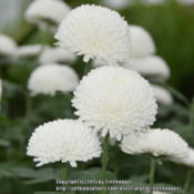 Location: . Pompon chrysanthemum