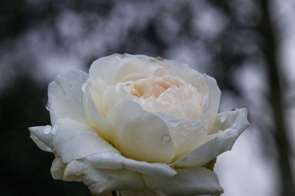 Photo of Rose (Rosa 'Winchester Cathedral') uploaded by cliftoncat