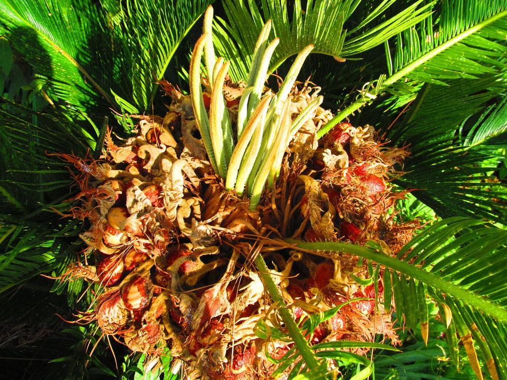 Photo of Sago Palm (Cycas revoluta) uploaded by jmorth