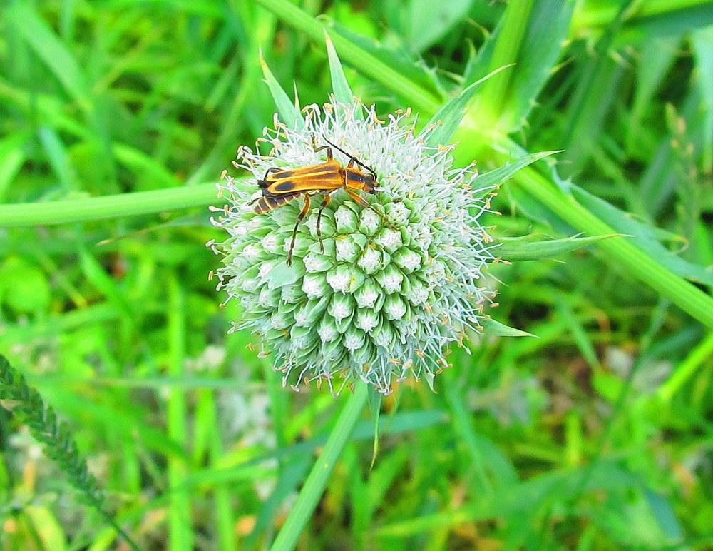 Photo of Rattlesnake Master (Eryngium yuccifolium) uploaded by jmorth