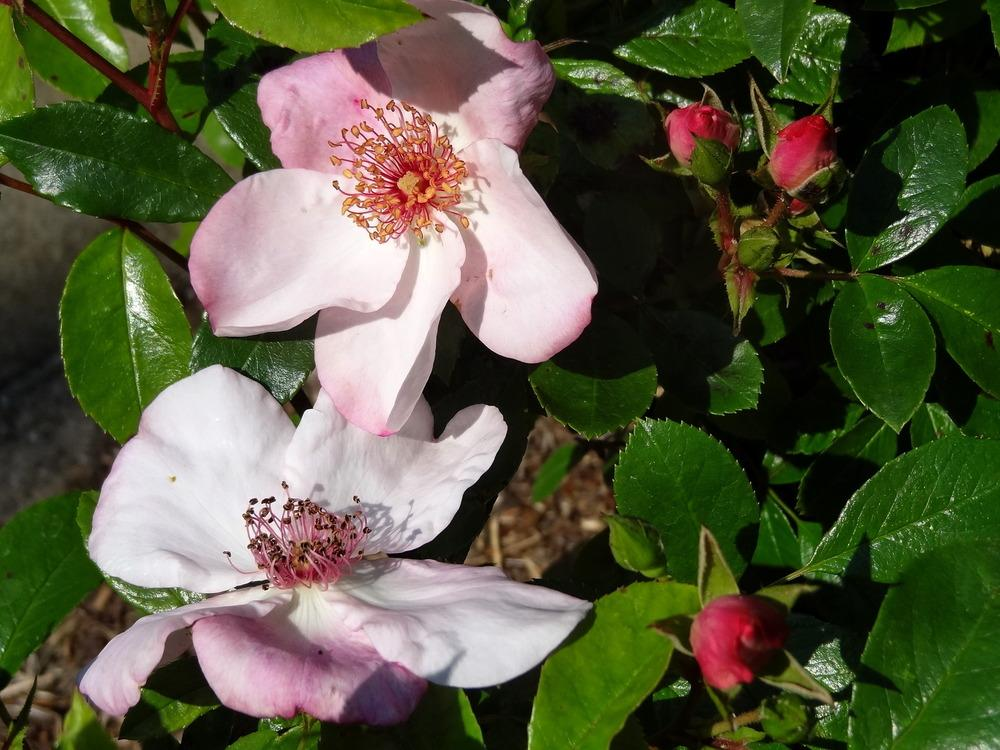 Photo of Rose (Rosa 'The Charlatan') uploaded by Orsola