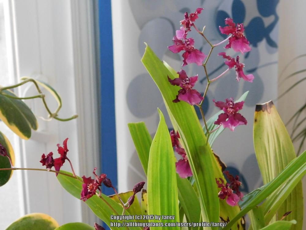Photo of Chocolate Orchid (Oncidium Sharry Baby) uploaded by tarev