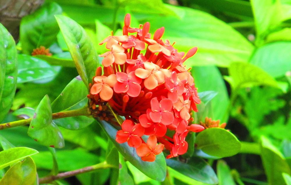 Photo of Flame of the Woods (Ixora coccinea) uploaded by jmorth