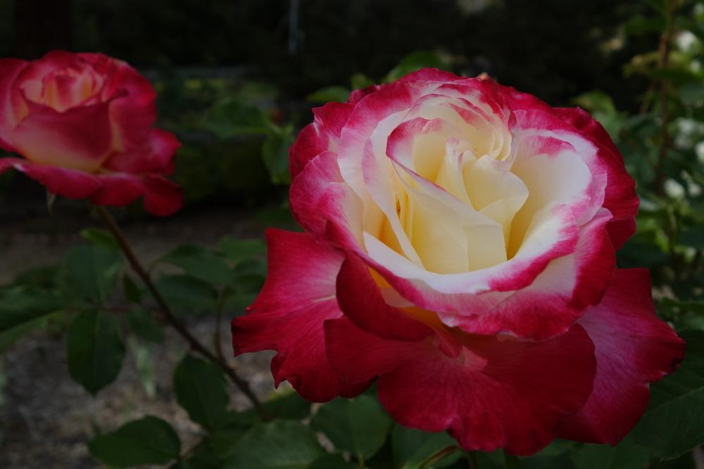 Photo of Rose (Rosa 'Double Delight') uploaded by Henhouse