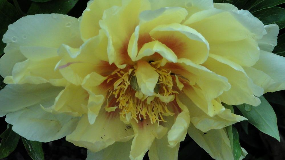 Photo of Intersectional Peony (Paeonia 'Bartzella') uploaded by Orsola