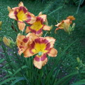 Location: Wisconsin zone 5aDate: 2015-11-30These little frogs just love daylilies