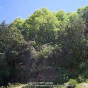 Location: Cuesta La Dormida, ChileDate: Spring 2008The trees with the light green (new) foliage are Nothofagus macro