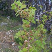 Location: Cerro El Roble, ChileDate: Spring 2008New foliage and flower buds.