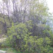Location: Cerro El Roble, ChileDate: Spring 2008Trees with new foliage