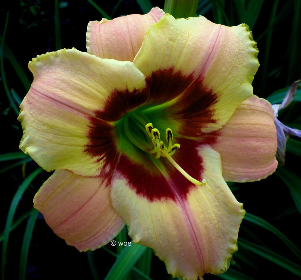 Photo of Daylily (Hemerocallis 'Of Olden Days') uploaded by mainstreet