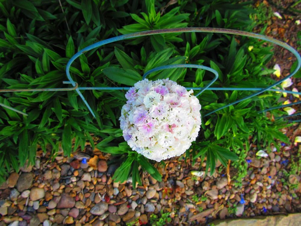 Photo of Sweet William (Dianthus barbatus) uploaded by jmorth