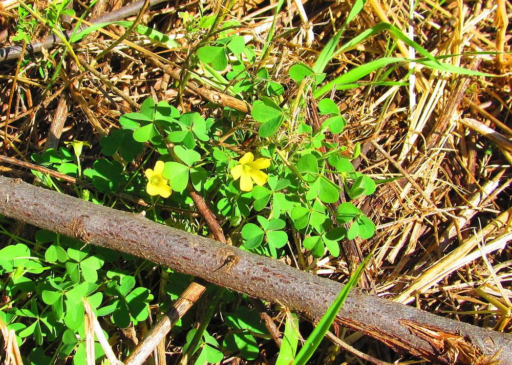 Photo of Yellow Wood Sorrel (Oxalis strictula) uploaded by jmorth