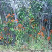 Location: Laguna de Aculeo, ChileDate: December 2015These Alstroemerias are growing under the shelter of small trees