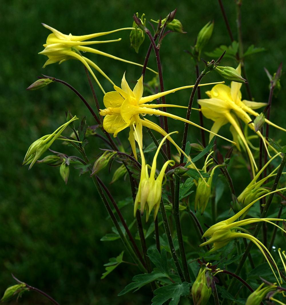 Columbines plant care and collection of varieties garden add or edit informational text about this plant izmirmasajfo Gallery