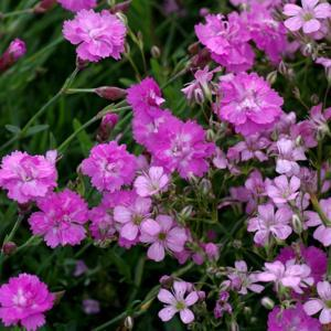 with Gypsophila repens 'Rosea'