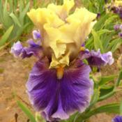 Location: Catheys Valley CAPhoto courtesy of Superstition Iris Gardens, posted wit