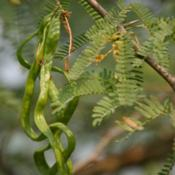 Location: Hodal, Faridabad, Haryana, IndiaDate: 2007-04-11Photo of seed pods by J M Garg CC BY-SA 3.0 via Wikimed