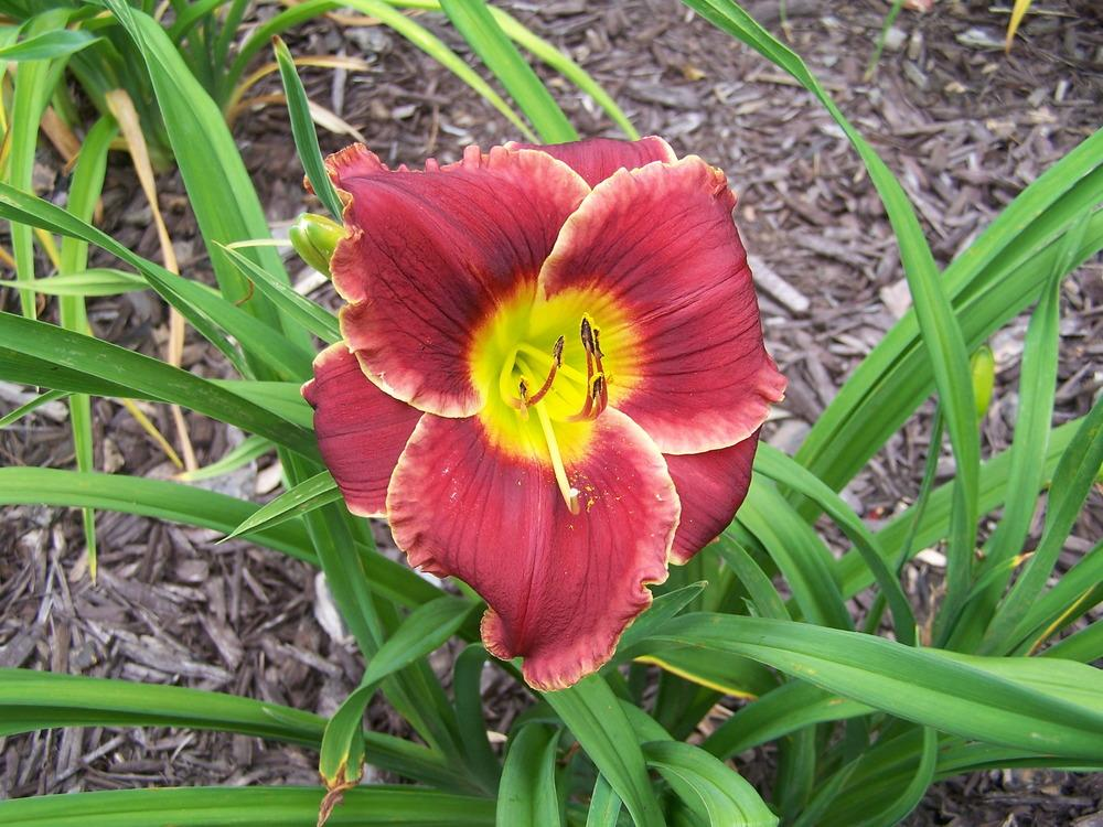 Photo of Daylily (Hemerocallis 'Roses in Snow') uploaded by petruske