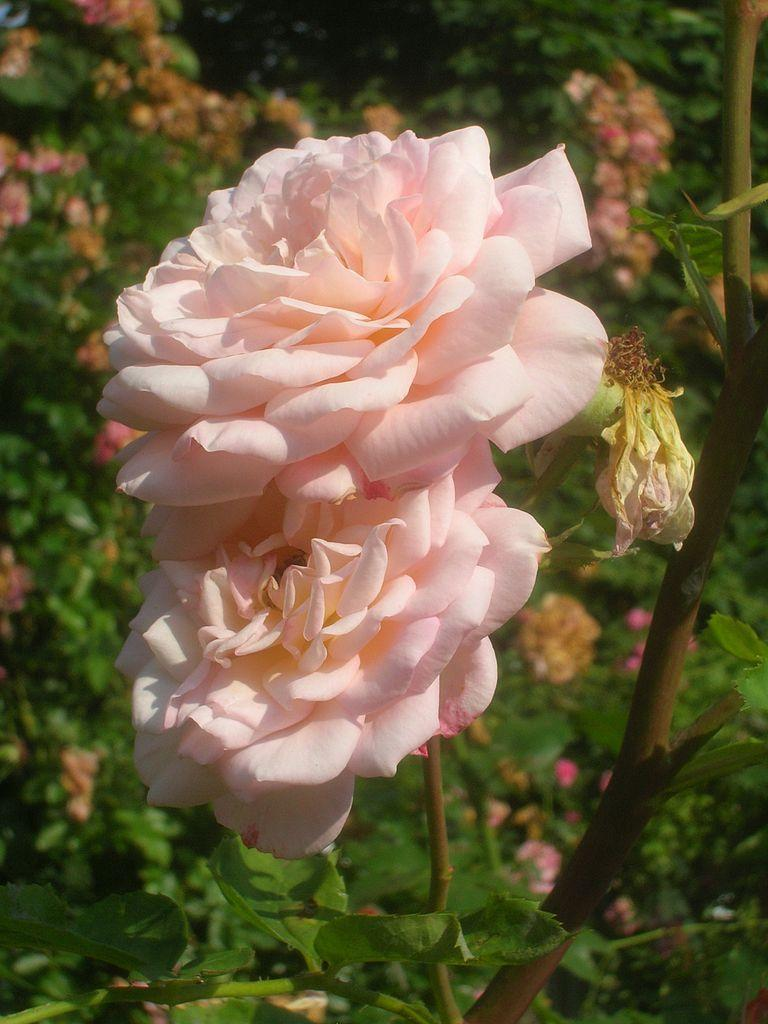 Photo of Rose (Rosa 'Abraham Darby') uploaded by robertduval14