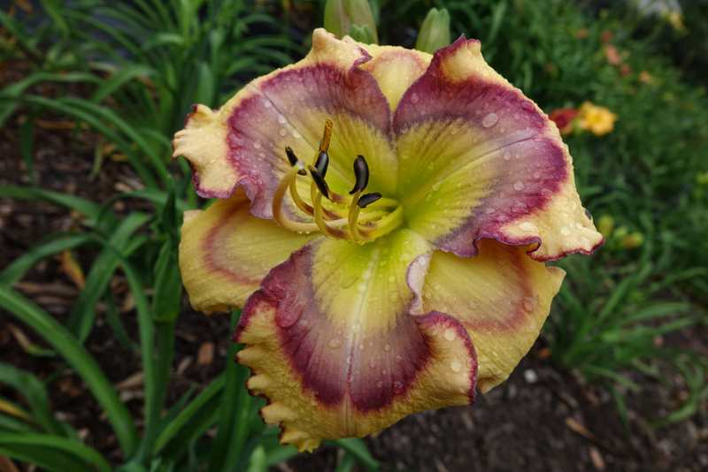 Photo of Daylily (Hemerocallis 'Butterfly Shores') uploaded by Calif_Sue