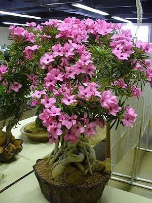 Photo of Desert Rose (Adenium obesum subsp. boehmianum) uploaded by RCanada